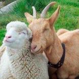 Koyun ve keçiler